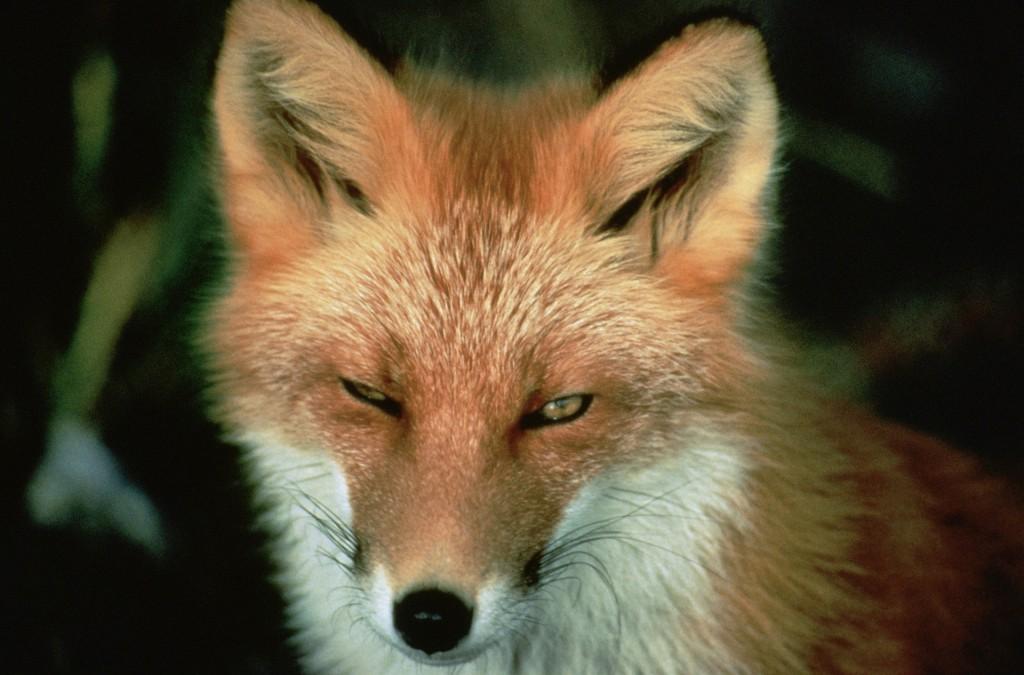 red-fox-86616_1920