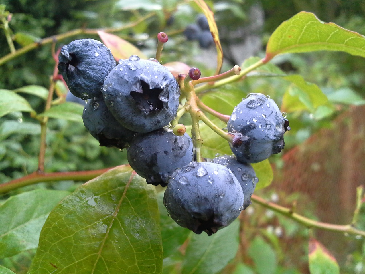 bilberry-american-445094_1280