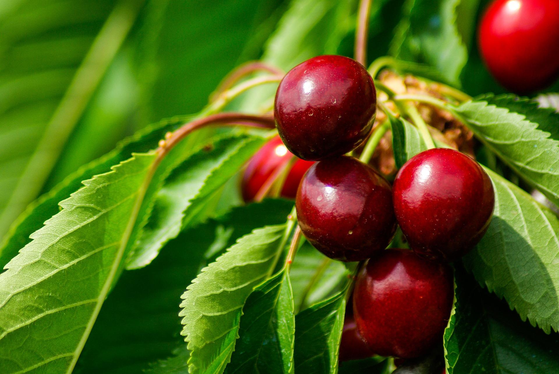 cherries-793782_1920 (2)