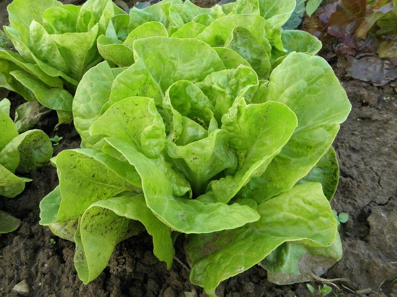 lettuce-176840_1280