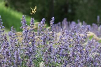 lavender-271982_1920