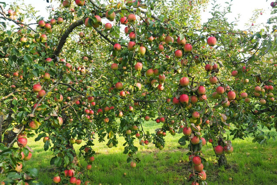 apple-693971_1280