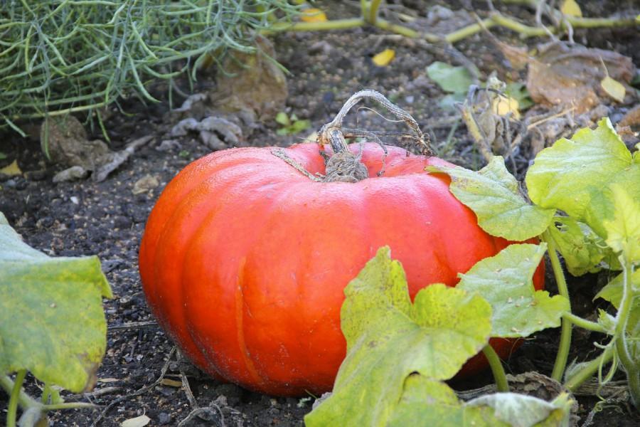 pumpkin-196049_1280